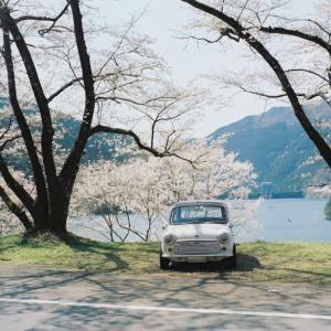 ダム湖はすでに桜満開