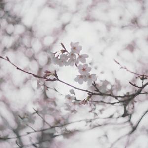平成さいごの桜