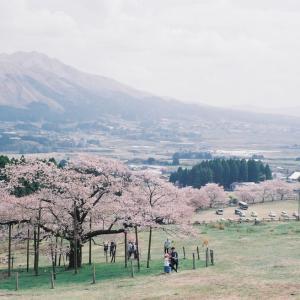 牧草地の一本桜