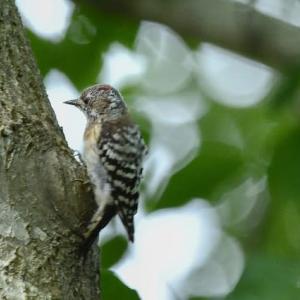 コゲラ 小啄木鳥 2020.7.31