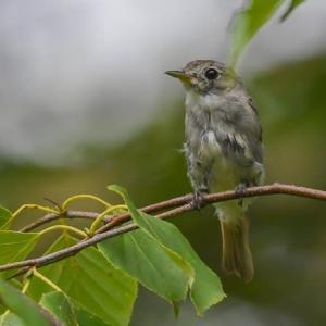 キビタキ幼鳥(マー撮影) 黄鶲 2021.7.24