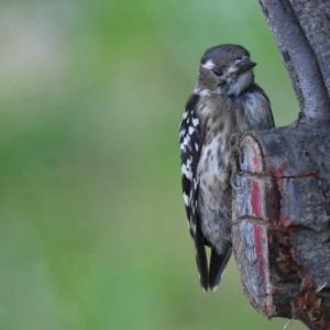 コゲラ(マー撮影) 小啄木鳥 2001.7.28