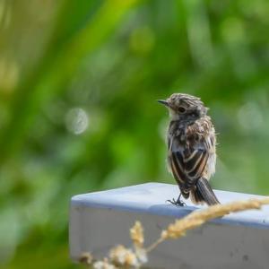 ノビタキ幼鳥 野鶲 2021.7.30