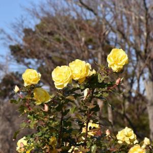 バラ 神奈川県鎌倉市 日比谷花壇大船フラワーセンター(3)バラ