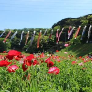 ポビー狩り 神奈川県横須賀市 くりはま花の国