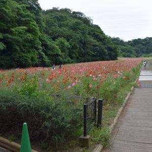 ポビー狩り 神奈川県横須賀市 くりはま花の国(1)横須賀市民対象に開園