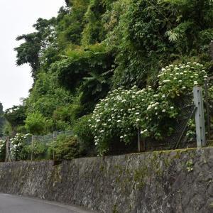 あじさい狩り 神奈川県鎌倉市 二階堂(1)ちょっと早かったかな?