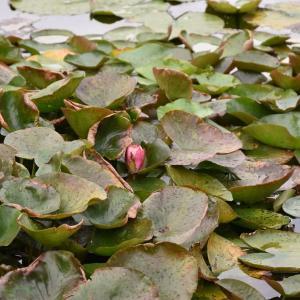 あじさい狩り 神奈川県鎌倉市 日比谷花壇大船フラワーセンター(3)アガパンサス、エキナセア