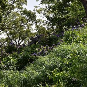 あじさい狩り 静岡県下田市 下田公園(5)あじさいと一緒に下田富士
