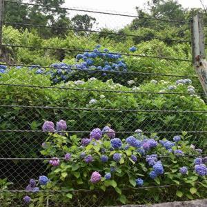 あじさい狩り 神奈川県鎌倉市 二階堂(2)瑞泉寺手前