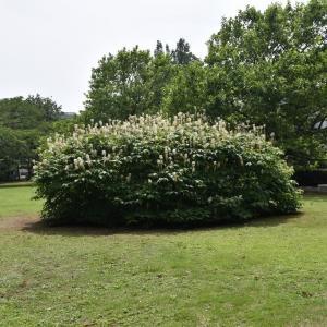 アガパンサス狩り 神奈川県鎌倉市 日比谷花壇大船フラワーセンター(3)若いヤマボウシか?
