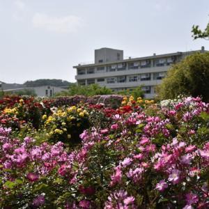 シャクヤク、バラ狩り 神奈川鎌倉市 日比谷花壇大船フラワーセンター(2)薔薇