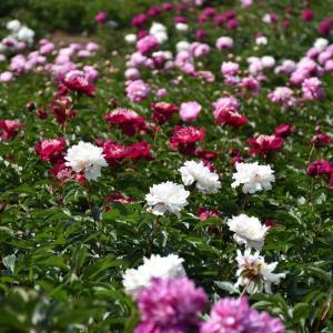 シャクヤク、バラ狩り 神奈川鎌倉市 日比谷花壇大船フラワーセンター(3)シャクヤク、バラ