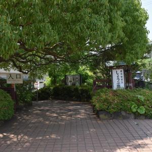 しょうぶ狩り 神奈川県横須賀市 横須賀しょうぶ園(1)4分咲き