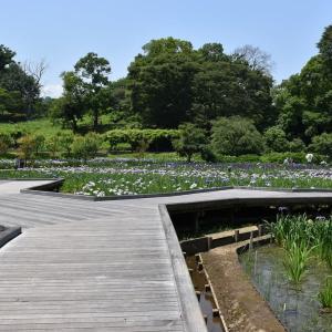 しょうぶ狩り 神奈川県横須賀市 横須賀しょうぶ園(2)きしょうぶ(黄菖蒲)