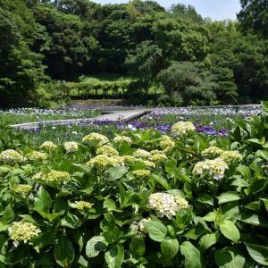 しょうぶ狩り 神奈川県横須賀市 横須賀しょうぶ園(3)あじさいとしょうぶ