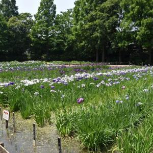 しょうぶ狩り 神奈川県横須賀市 横須賀しょうぶ園(8)カシワバアジサイ