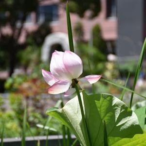 ナツズイセン狩り 神奈川県鎌倉市 日比谷花壇大船フラワーセンター(8)ハスの花とひまわり