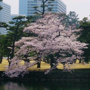 桜・さくら・Sakura。