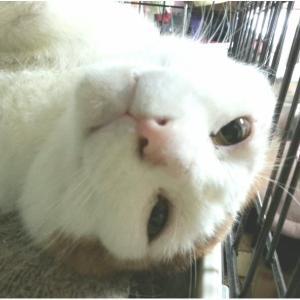 白猫ラプソディー