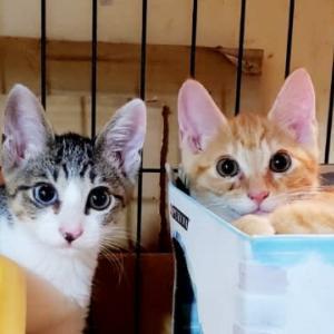 里親募集 幸せを呼ぶ兄妹猫 生後3ヶ月