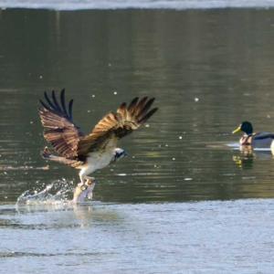 古徳沼にミサゴを撮影に行きました。