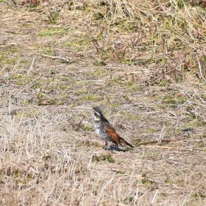 涸沼で野鳥撮影  空を猛禽類が飛ぶ