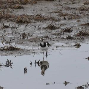 涸沼でタゲリ撮影