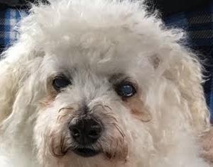 オモ(ボロニーズ犬♂13歳)は癌かもしれない