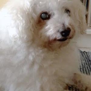 オモ(ボロニーズ犬♂13歳)の食欲