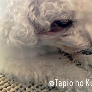 オモ(ボロニーズ犬♂13歳)のおじいちゃん化と発作