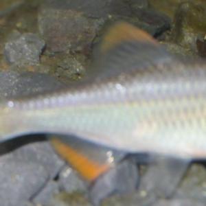 先日釣ってきたヤリタナゴをタナゴ水槽へ