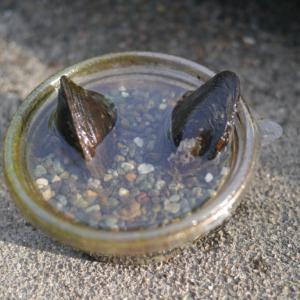 ドブ貝を捕まえてきました。