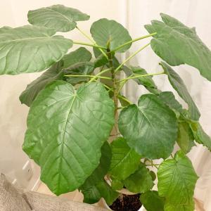 観葉植物の葉を拭いてスッキリ♡ホコリを取り除いたら…