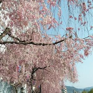 マルコメ味噌の しだれ桜並木 見ごろです