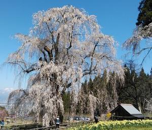 """高山村の""""水中のしだれ桜""""見てきました 想像以上でした"""