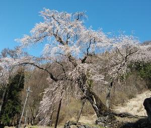 高山村 赤和観音のしだれ桜 見てきました