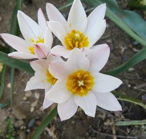 原種のチューリップ 咲きました 愛らしいです