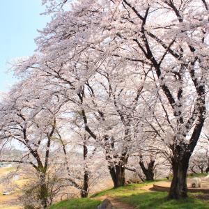 過去に撮ってボツった桜画像