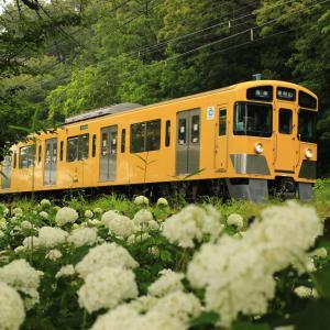 黄色い電車に乗って花菖蒲を見に行ってきた