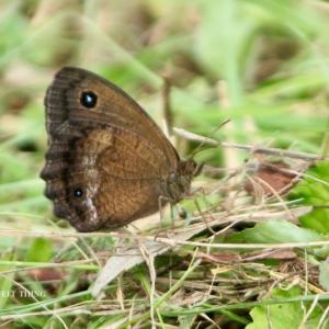 ジャノメ蝶のキラリ♪