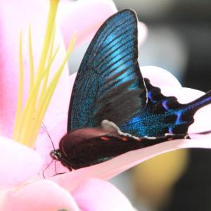 ユリの花にミヤマカラスアゲハ♪