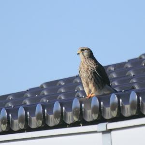 屋根の上のチョウゲンボウ♪