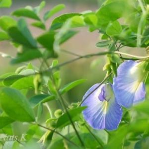 クーちゃんの蝶豆と冬瓜