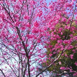 今年も緋寒桜を・・・、