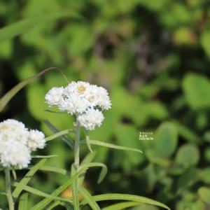 浄土平 鎌沼 登山道周辺の花々