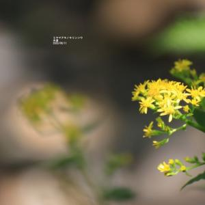 高山植物   チングルマの果穂