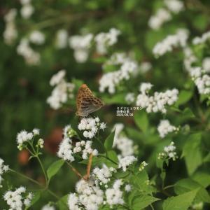 四季の里  ミドリヒョウモン蝶