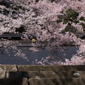 土津神社の桜