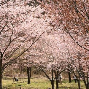 峠一面が桜